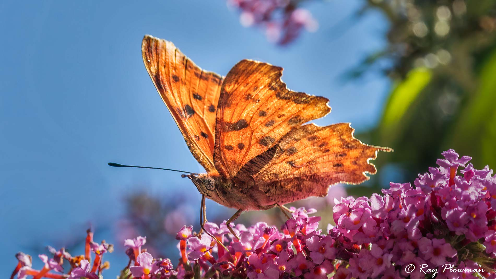 Comma (Polygonia c-album) feeding on buddleia nectar at Bouisse in Languedoc-Roussillon, France