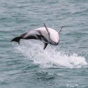 Dusky Dolphin (Lagenorhynchus obscurus) an upside-down leap at Kaikoura Pelagic