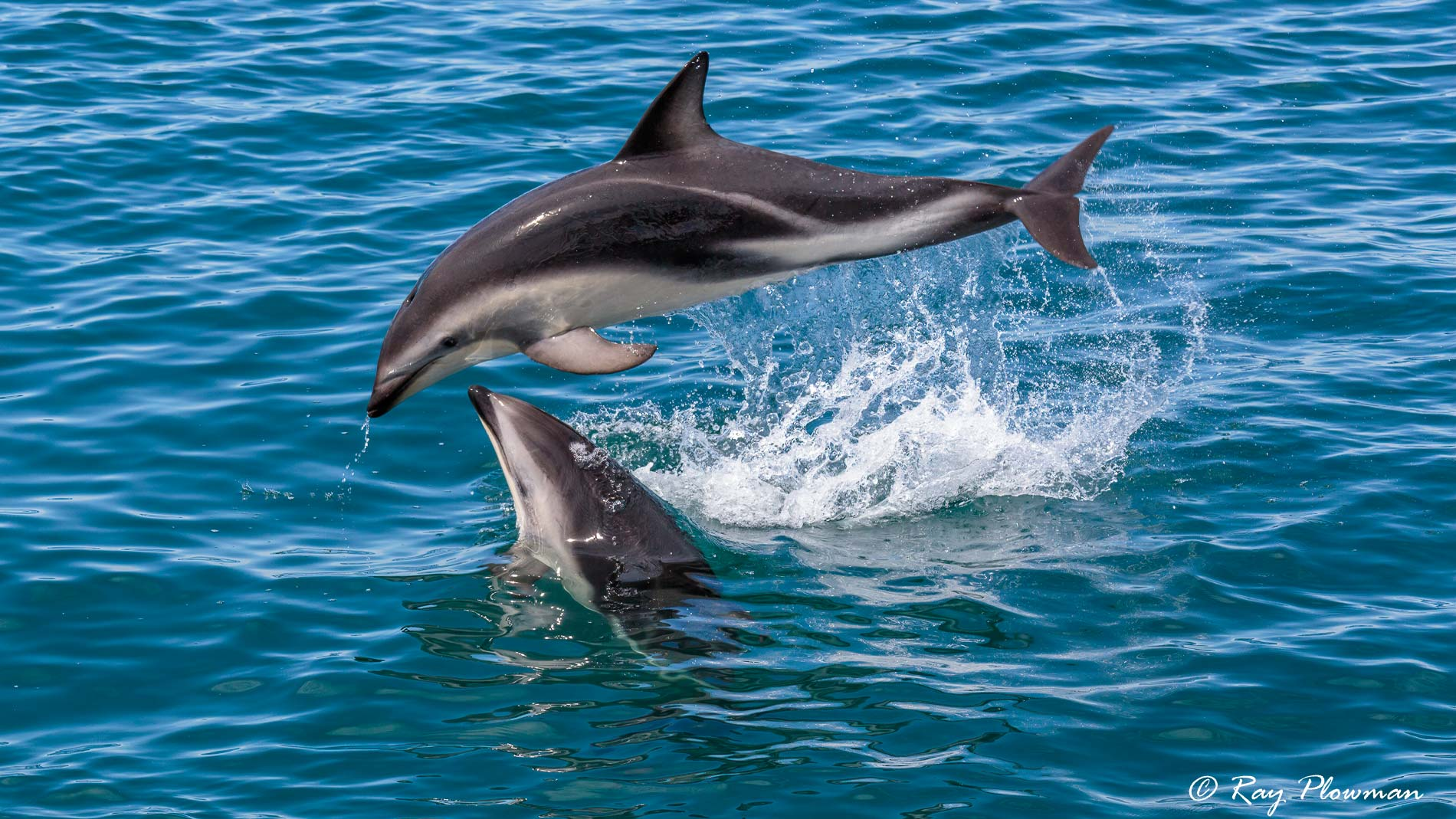 Dusky Dolphins (Lagenorhynchus obscurus) playing leapfrog at Kaikoura Pelagic in New Zealand