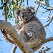Koala (Phascolarctos cinereus) at Manna Gum Drive in Cape Otway, Victoria