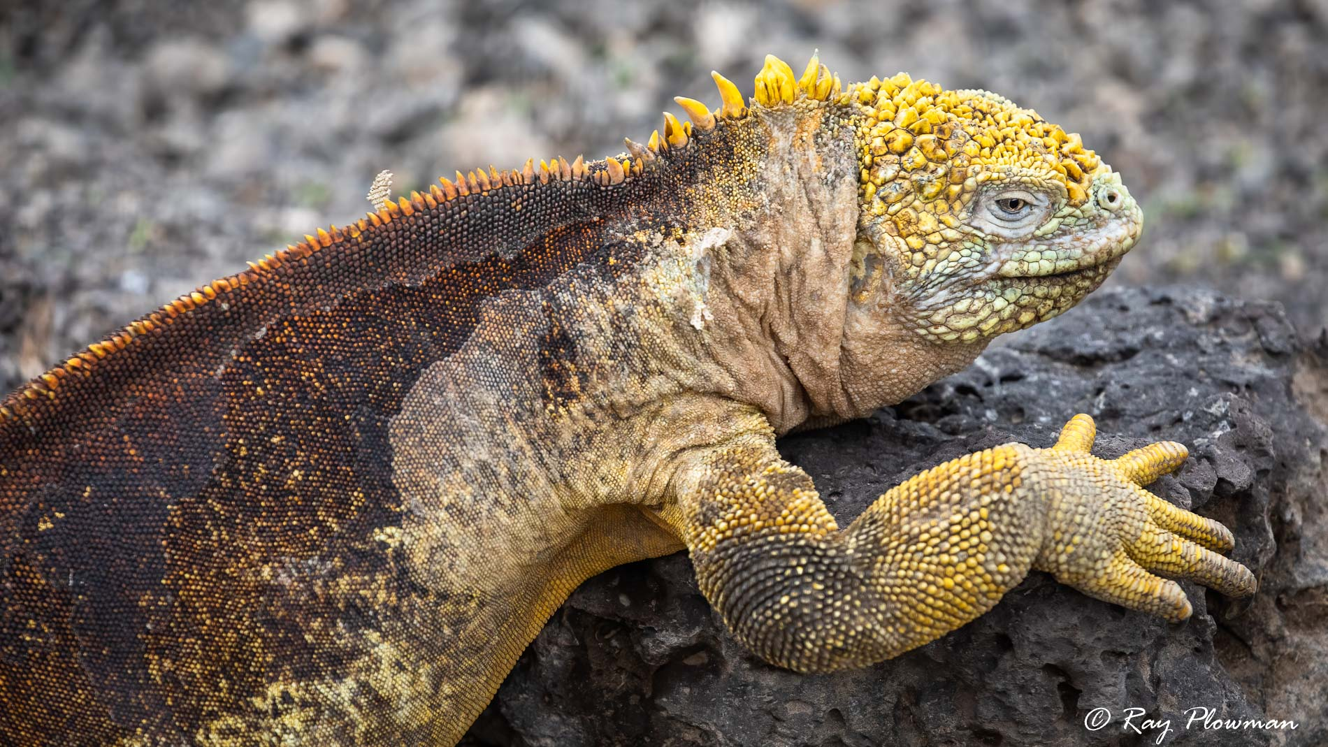 Land Iguana (Conolophus subcristatus) with patchy skin shedding on Plazas Island (Santa Cruz) in Galapagos