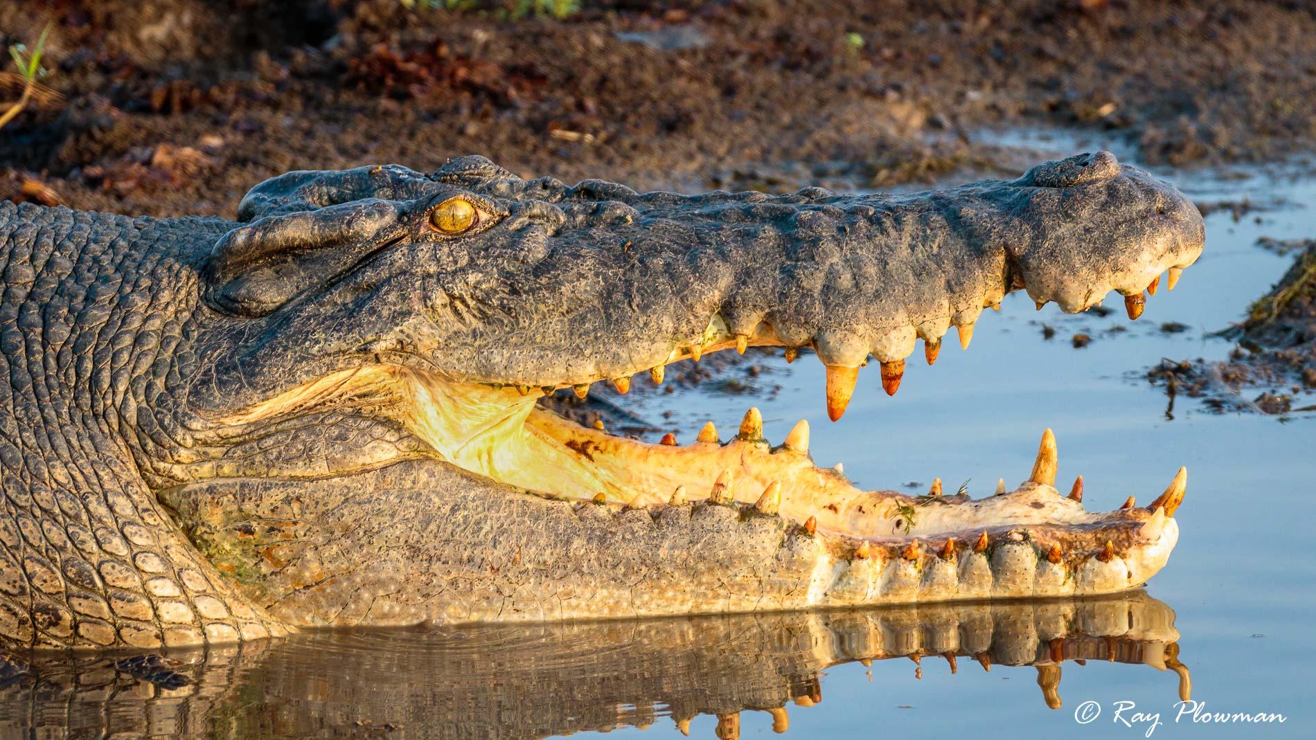 Saltwater (Estuarine) Crocodile (Crocodylus porosus) at Yellow Water Region of the Kakadu National Park in Northern Territories