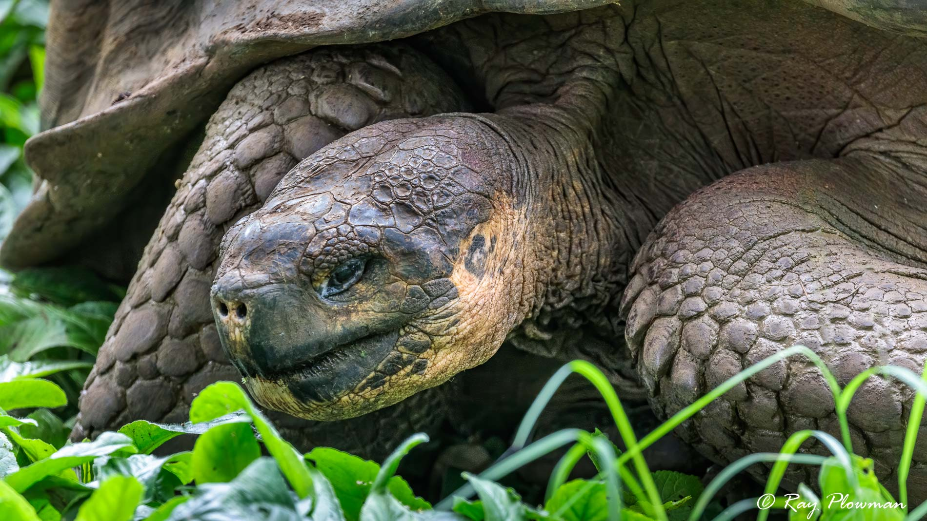 Western Sana Cruz Giant Tortoise (Chelonoidis porteri) at Rancho Manzanillo on Santa Cruz Island in Galapagos