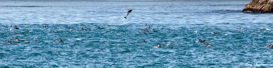 Dusky Dolphin (Lagenorhynchus obscurus) large pod at Kaikoura Pelagic in New Zealand