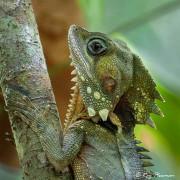 Boyd's Forest Dragon (Hypsilurus boydii) in the forest at Cape Tribulation's Marrdja Boardwalk