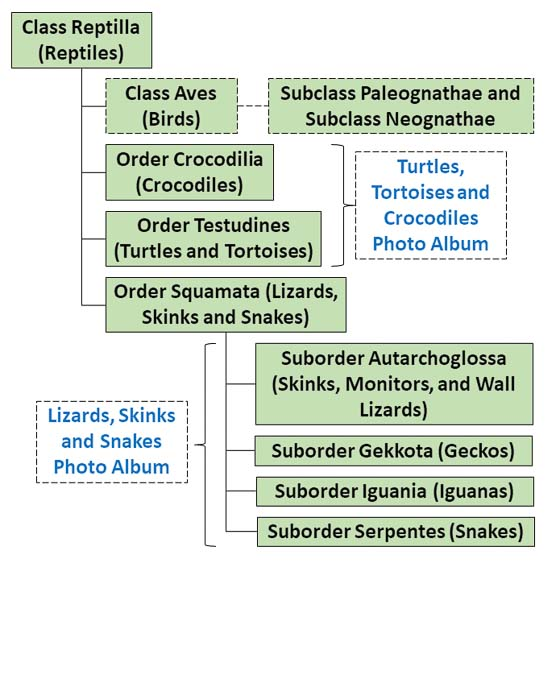 The figure shows a simplified taxonomy family tree applicable to Reptilia
