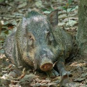Wild Boar (Sus scrofa) resting in the undergrowth on Pulau Ubin in Singapore