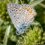 Common Blue (Polyommatus icarus) female at Peyreleau in the Tarn Gorges region of France
