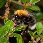 Tree Bumblebee (Bombus hypnorum) feeding on cotoneaster flower nectar in a Yateley garden in Hampshire