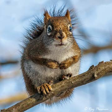 American Red Squirrel (Tamiasciurus hudsonicus) at Point Pleasant Park in Halifax Nova Scotia