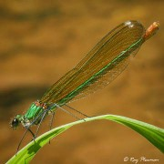 Banded Demoiselle (Calopteryx splendens) female perched at Le Moulin Du Bousquet on the River Aveyron in France