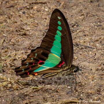 Common Bluebottle (Graphium sarpedon luctatius) puddling on a footpath at Central Catchment Reserve in Singapore