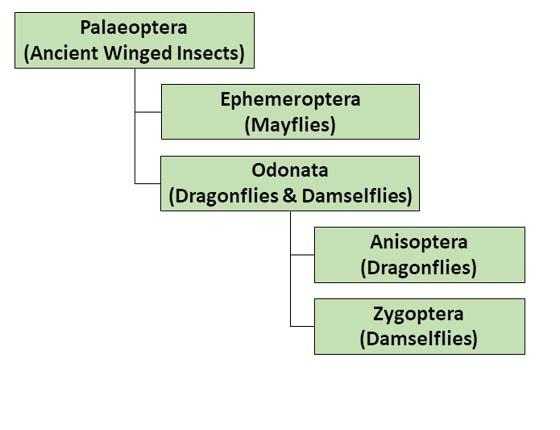 The figure shows a simplified taxonomic diagram for Ephemeroptera and Odonata