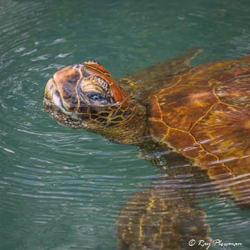 Green Turtle (Chelonia mydas) swimming in a lagoon at Elizabeth Bay on Isabela Island, Galápagos