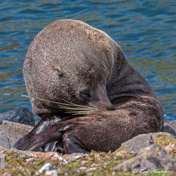 New Zealand [Hooker's] Sea Lion (Phocarctos hookeri) bull hauled out on Pilots Beach's rocks on the Otago Peninsula