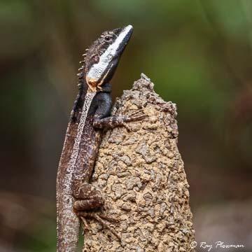 Northern Water Dragon (Amphibolurus temporalis) / Swamplands Lashtail (Gowidon temporalis) at Fogg Dam Conservation Reserve