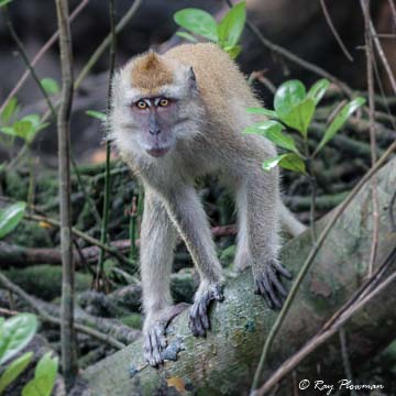 Long-Tailed Macaque (Macaca fascicularis) a female at Sungei Buloh Wetland Reserve in Singapore