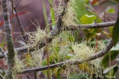 Beard Lichen (Usnea sp.) at Glacis La Reserve on Mahé Island in Seychelles