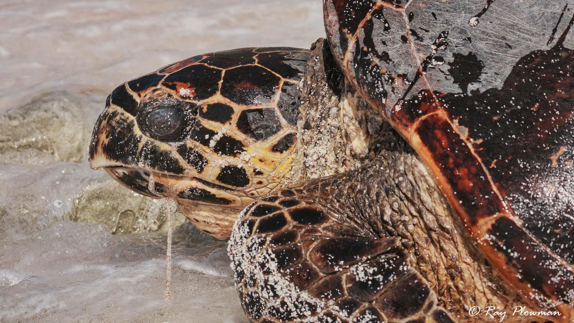 Close-up of Hawksbill Turtle (Eretmochelys imbricata) on Mahe Islands Anse Bazarca beach