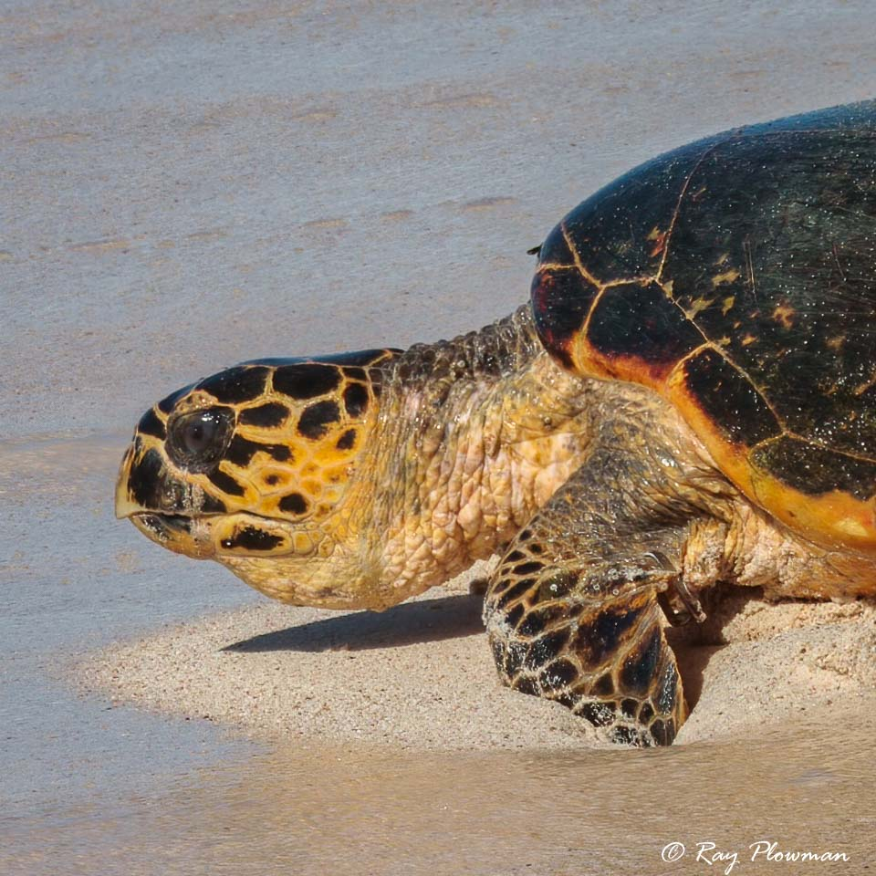 Close-up of a Hawksbill Turtle returning to the sea after laying eggs at Anse Bazarca on Mahé Islands in Seychelles
