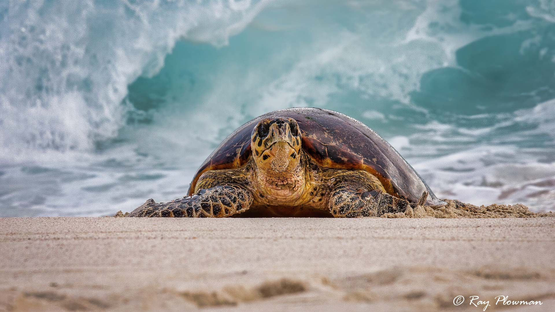 Hawksbill Turtle (Eretmochelys imbricata) coming ashore at the east end of Mahé Islands Anse Bazarca beach