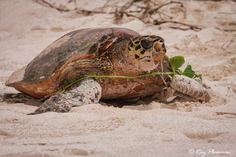 Hawksbill Turtle (Eretmochelys imbricata) returning to the sea at Mahé Islands Anse Bazarca beach in Seychelles