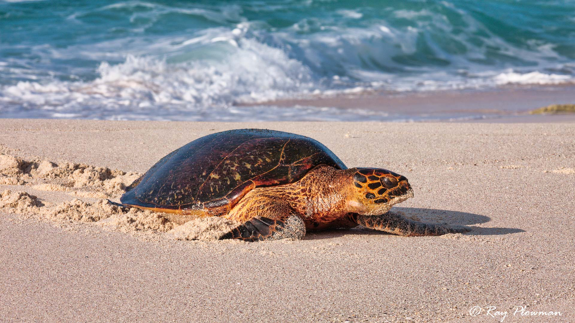 Hawksbill Turtle (Eretmochelys imbricata) climbing up the beach on Mahé Islands Anse Bazarca beach in Seychelles
