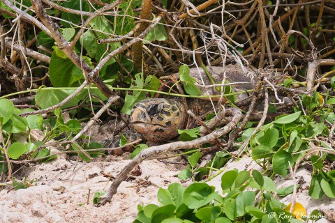 Hawksbill Turtle (Eretmochelys imbricata) appearing from the undergrowth at Anse Bazarca beach in Seychelles