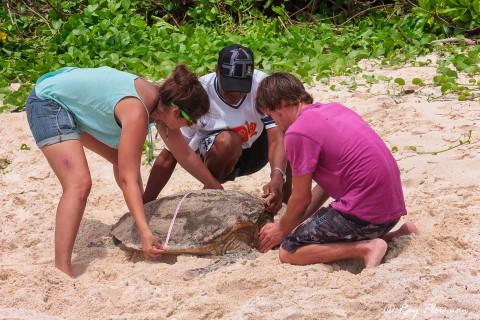 Volunteers from Seychelles MCSS measuring Hawksbill turtle (Eretmochelys imbricata) at Anse Bazarca beach in Seychelles