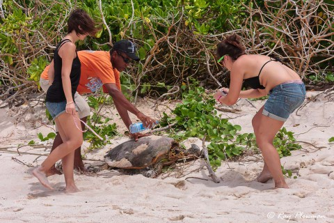 Volunteers from Seychelles MCSS measuring and photographing a Hawksbill Turtle (Eretmochelys imbricata) at Anse Bazarca beach in Seychelles