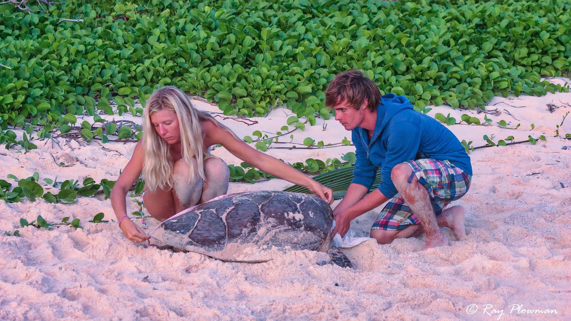 MCSS volunteers measuring Hawksbill Turtle at the east end of Anse Bazarca beach