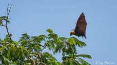 Seychelles Fruit Bat (Pteropus seychellensis) landing on a tree at Mont Fleuri Botanical Gardens