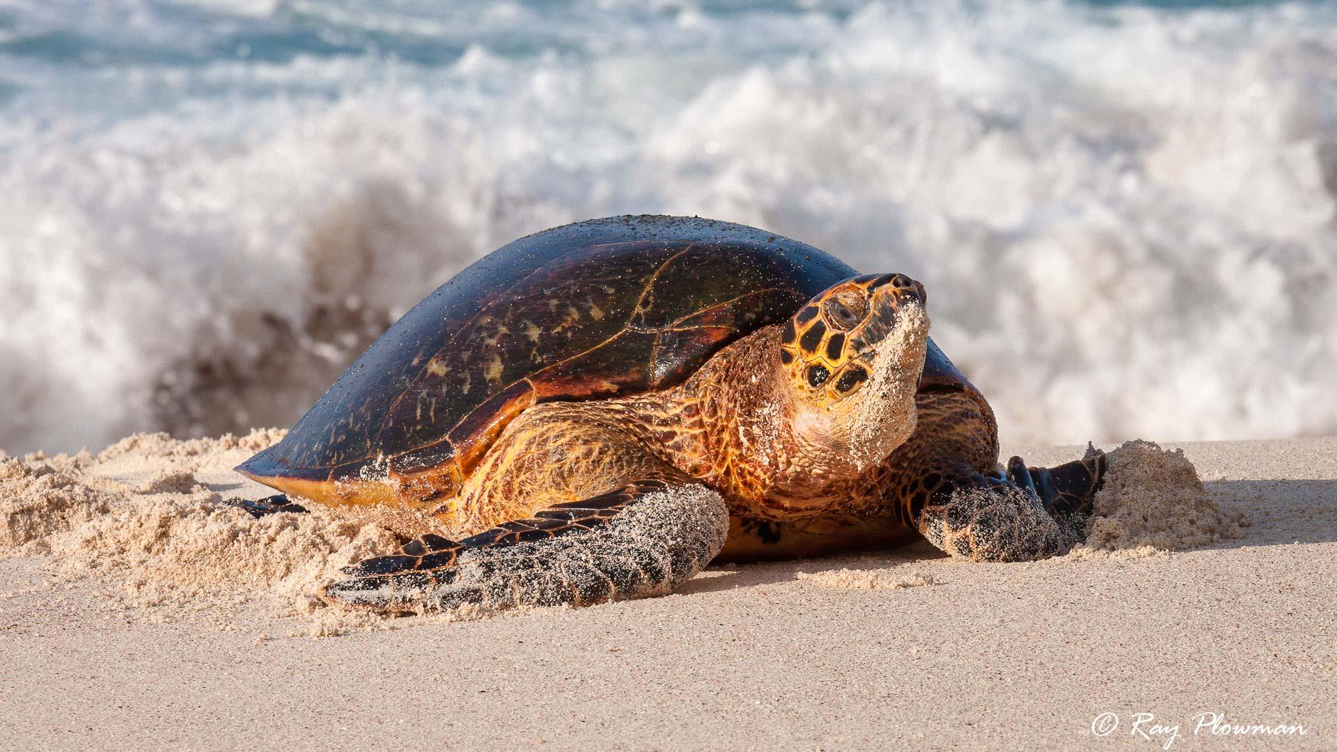 Hawksbill Turtle (Eretmochelys imbricata) coming ashore at Anse Bazarca beach in Seychelles