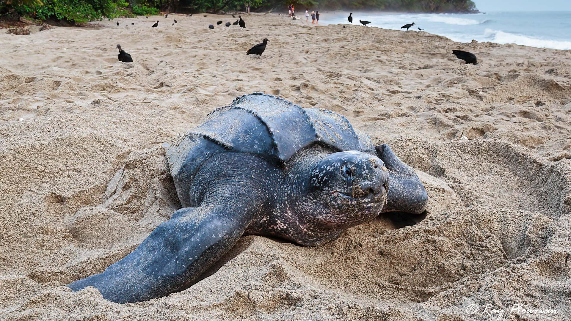 Leatherback Turtle (Dermochelys coriacea) on the beach at Grande Riviere in Trinidad