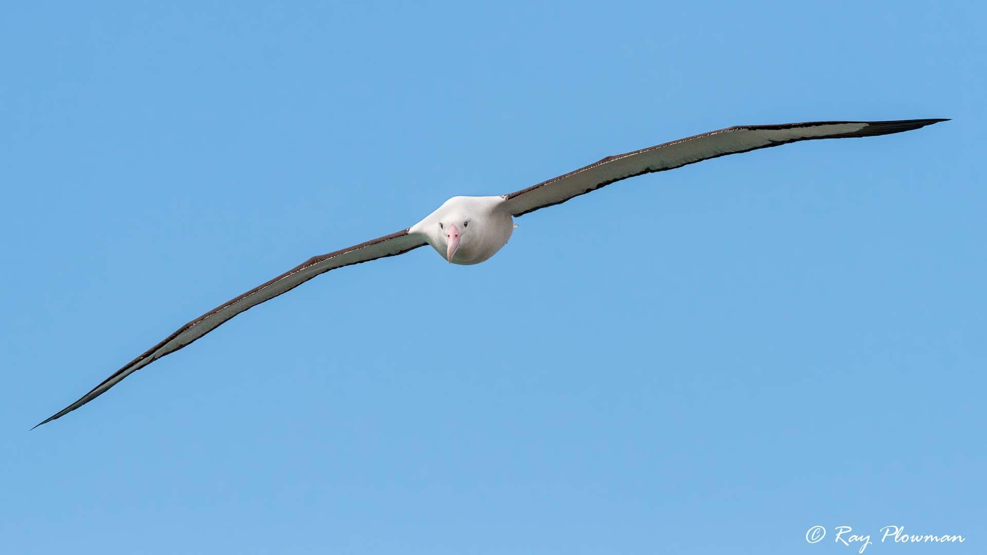Northern Royal Albatross (Diomedea sanfordi) gliding at Taiaroa Head on the Otago Peninsula