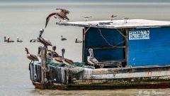 Brown Pelicans (Pelecanus occidentalis) on fishing boat at Orange Valley Causeway in Trinidad