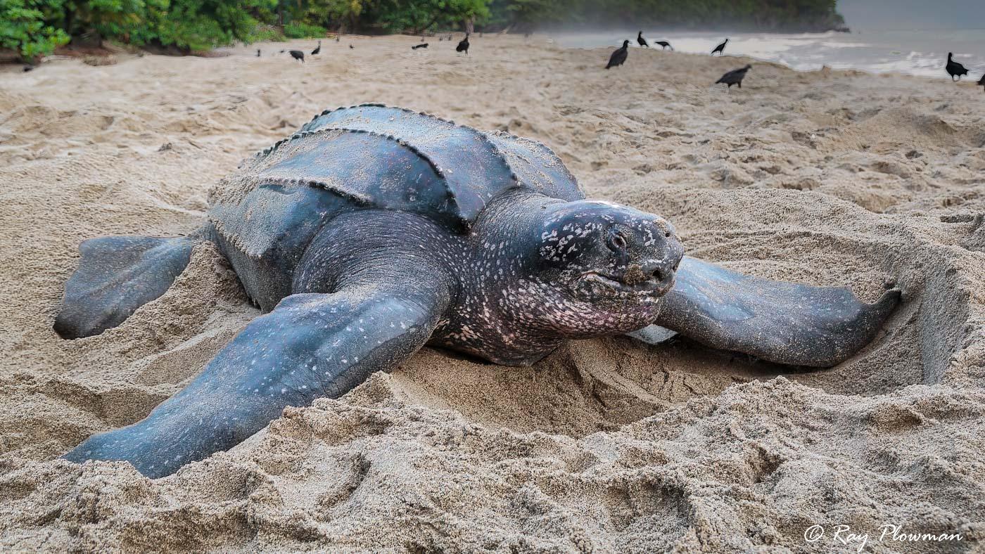 Leatherback Sea Turtle (Dermochelys coriacea) nesting at Grande Riviere in Trinidad