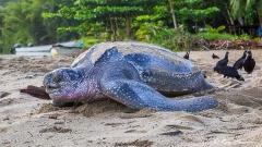 Trinidad Wildlife - Leatherback Turtle at Grande Riviere on the Northeast Coast of Trinidad
