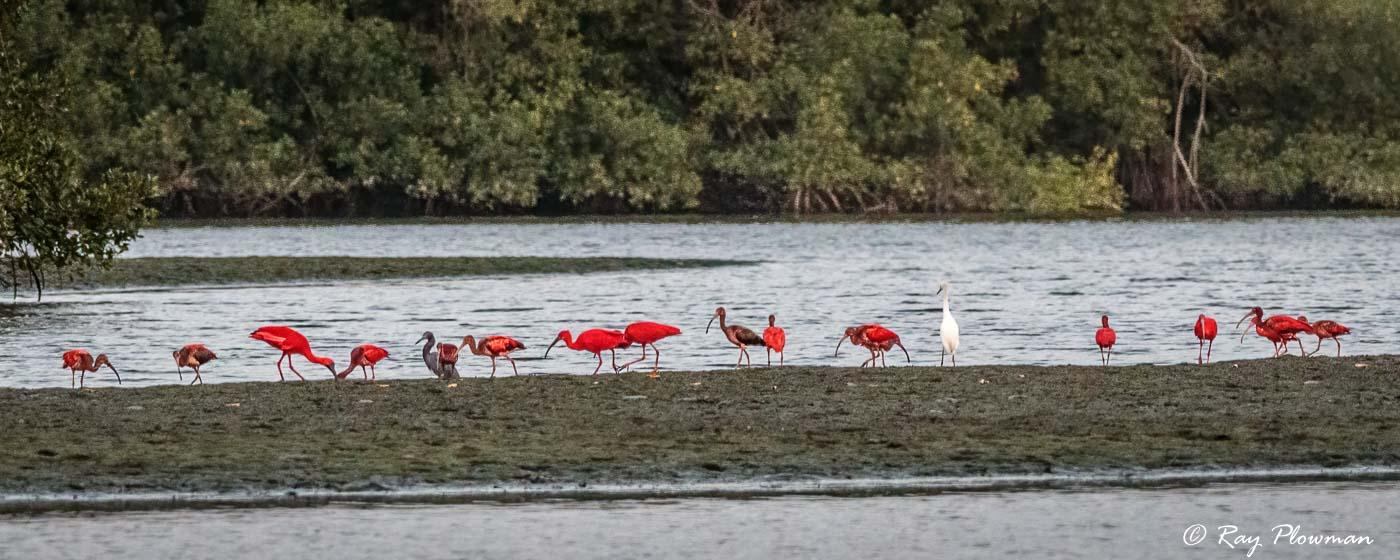 Scarlet Ibis Feeding at Caroni Swamp mudflats in Trinidad