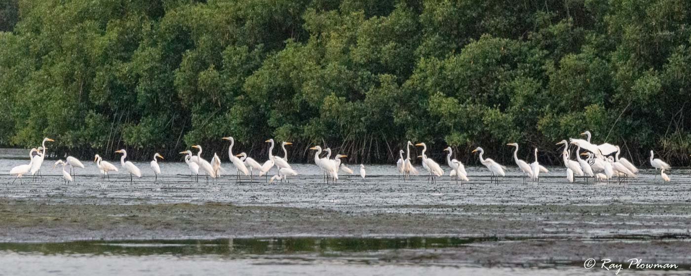 Great White and Snowy Egrets at Caroni Swamp in Trinidad