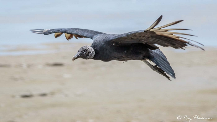 merican Black Vulture (Coragyps atratus brasiliensis) flying at Orange Valley Mudflats in Trinidad