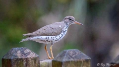 Spotted Sandpiper (Actitis macularius) perched on a fence in Trinidad