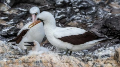 Nazca Boobies (Sula granti) female and chick with the male making a small stone offering at Espanola Island